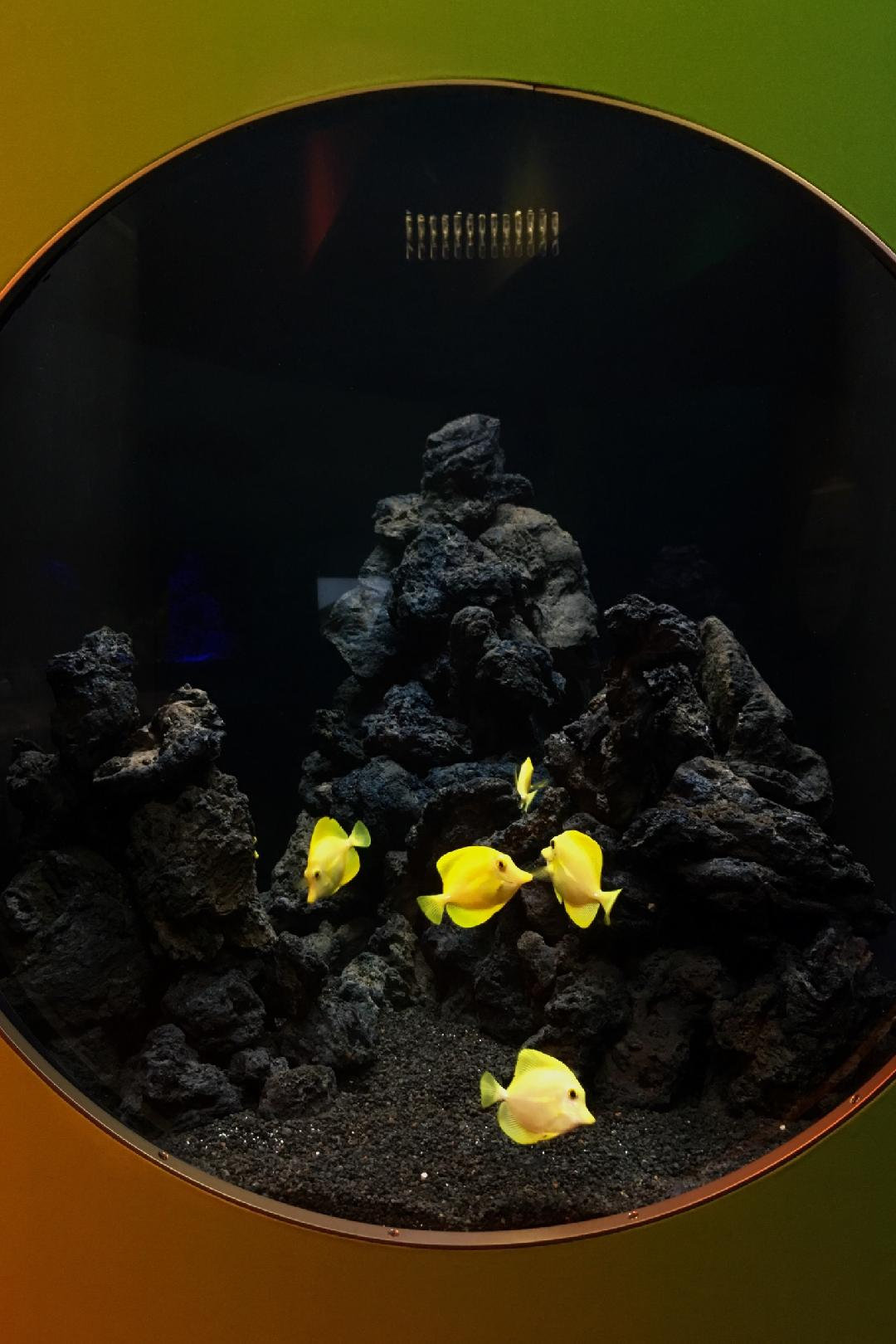 Shedd Aquarium Yellow Tang Exhibit
